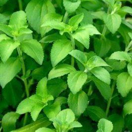 Une nouvelle tendance débarque avec la plante de Stévia